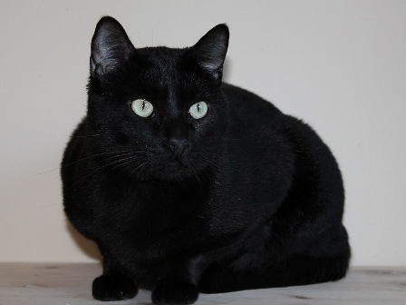 gato negro